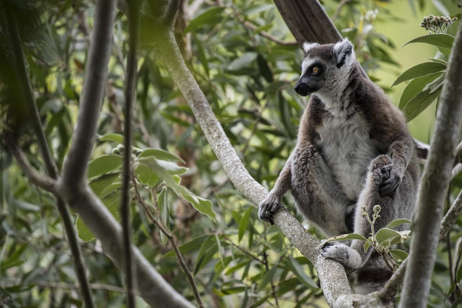Lemur at Australia Zoo, Queensland