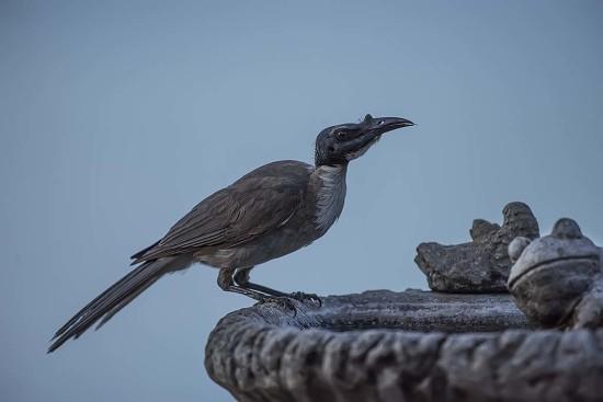 Noisy Friar Bird, Honeyeater