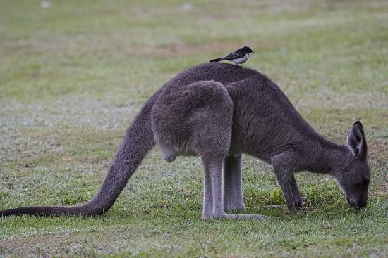 Grey Kangaroo and Willie Wagtail at Halfway Creek, New South Wales.