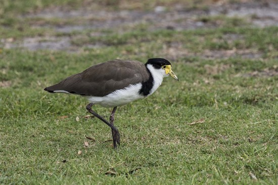 Masked Lapwing, Red Rock, New South Wales.